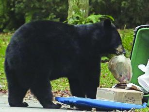 """Attractants"" — household garbage — is the main cause of food-conditioned bears that need to be euthanized or relocated. (Photo by The Associated Press)"