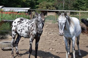 Cherokee County officials seized these two horses from their owner almost one year ago. After being cared for at Double 00 Farm in Tuskeegee, the horses could be returned to their owner if a 'not guilty' verdict is returned in the upcoming trial. Photo by Matthew Osborne/Cherokee Scout