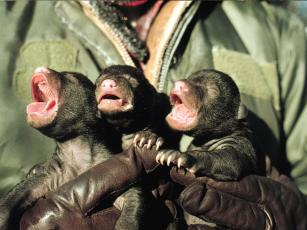 Newborn black bear cubs are born blind with fine fur and weighing 0.5 to 1 pounds.