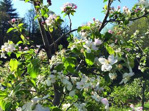 Above, trees are in bloom at the Red Apple Barn orchard.