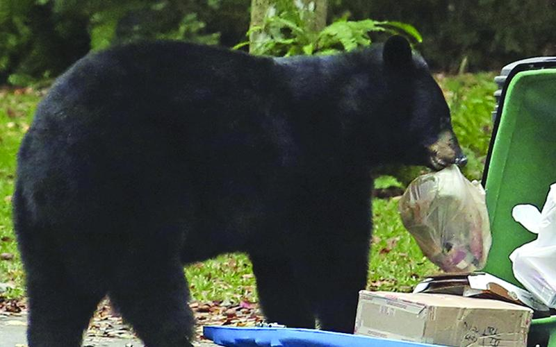 Attractants, such as household garbage, are the main cause of food-conditioned bears that need to be euthanized or relocated. (The Associated Press photo)
